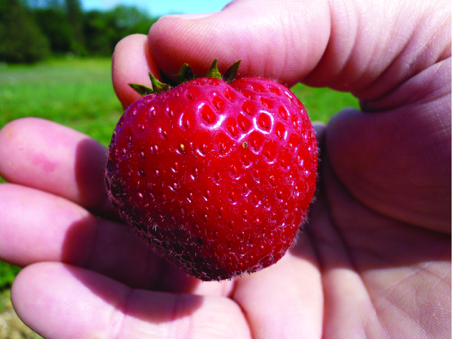 This is a photo of a bright red strawberry being held in a human hand.