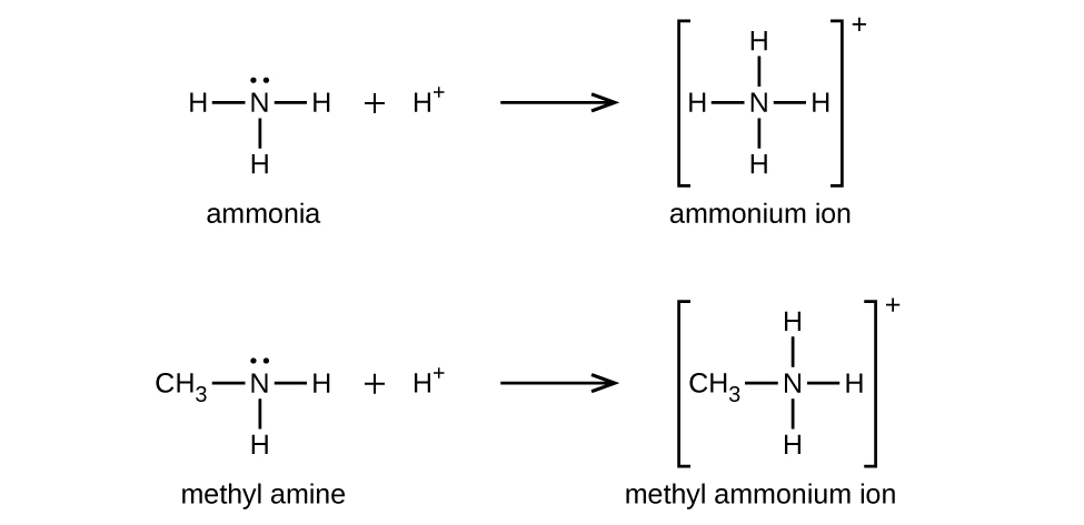 Two reactions are shown. In the first, ammonia reacts with H superscript plus. An unshared pair of electron dots sits above the N atom. To the left, right, and bottom, H atoms are bonded. This is followed by a plus symbol and an H atom with a superscript plus symbol. To the right of the reaction arrow, ammonium ion is shown in brackets with a superscript plus symbol outside. Inside the brackets, the N atom is shown with H atoms bonded on all four sides. In a very similar second reaction, methyl amine reacts with H superscript plus to yield methyl ammonium ion. The methyl amine structure is like ammonia except a C H subscript 3 group is attached in place of the left most H atom in the structure. Similarly, the resulting methyl ammonium ion is represented in brackets with a superscript plus symbol appearing outside. Inside, the structure is similar to that of methyl amine except that an H atom appears at the top of the N atom where the unshared electron pair was previously shown.