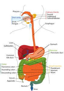 Gastrointestinal System https://commons.wikimedia.org/wiki/File:Digestive_system_diagram_en.svg