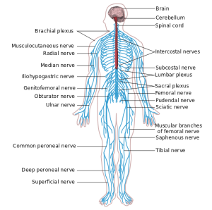 Nervous System https://en.wikipedia.org/wiki/Peripheral_nervous_system