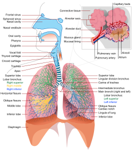Respiratory System https://en.wikipedia.org/wiki/File:Respiratory_system_complete_en.svg