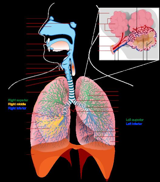 Respiratory System https://en.wikipedia.org/wiki/File:Respiratory_system_complete_en.svg