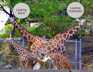 Two giraffes. One looking back, one looking forward