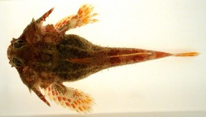 Figure 4. Sculpin fish
