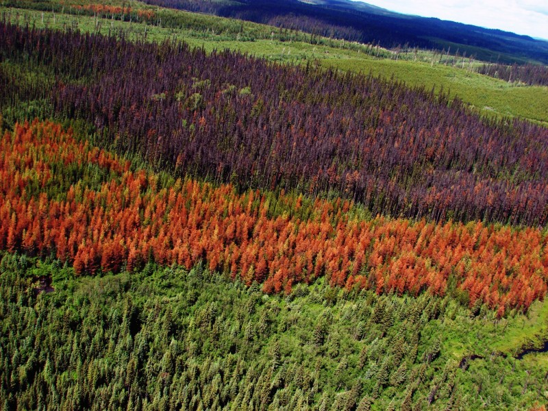 Figure 2. Interior British Columbia lodgepole pine forest affected by mountain pine beetle.