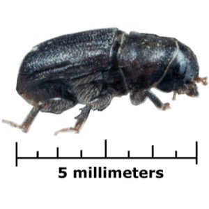Case Study 1: Mountain Pine Beetle – British Columbia in a Global