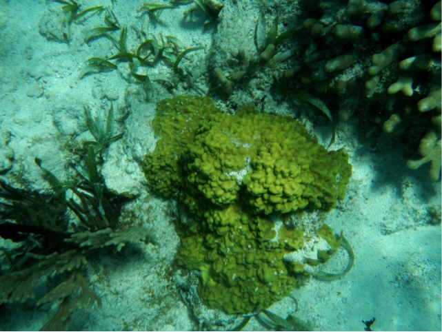 Various corals and green algae on a reef at Ambergris, Belize. The light-coloured sand consists of carbonate fragments eroded from the reef organisms.