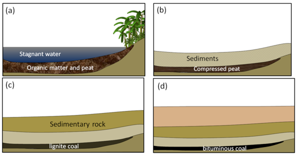 Formation of coal: (a) accumulation of organic matter within a swampy area; (b) the organic matter is covered and compressed by deposition of a new layer of clastic sediments; (c) with greater burial, lignite coal forms; and (d) at even greater depths, bituminous and eventually anthracite coal form. [SE]