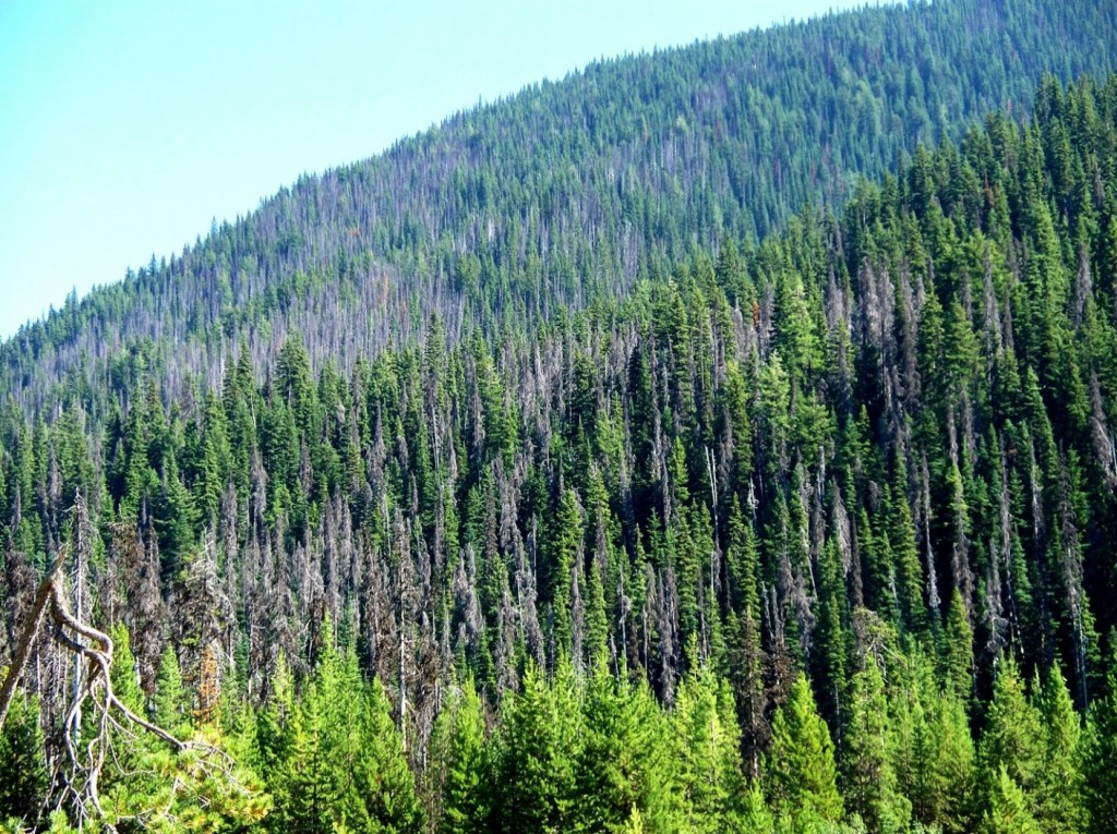 Figure 19.18 Mountain pine beetle damage in Manning Park, British Columbia [https://upload.wikimedia.org/wikipedia/en/7/7c/Pine_Beetle_in_Manning_Park.jpg]