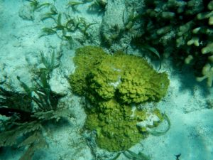 Figure 6.9 Various corals and green algae on a reef at Ambergris, Belize. The light-coloured sand consists of carbonate fragments eroded from the reef organisms.