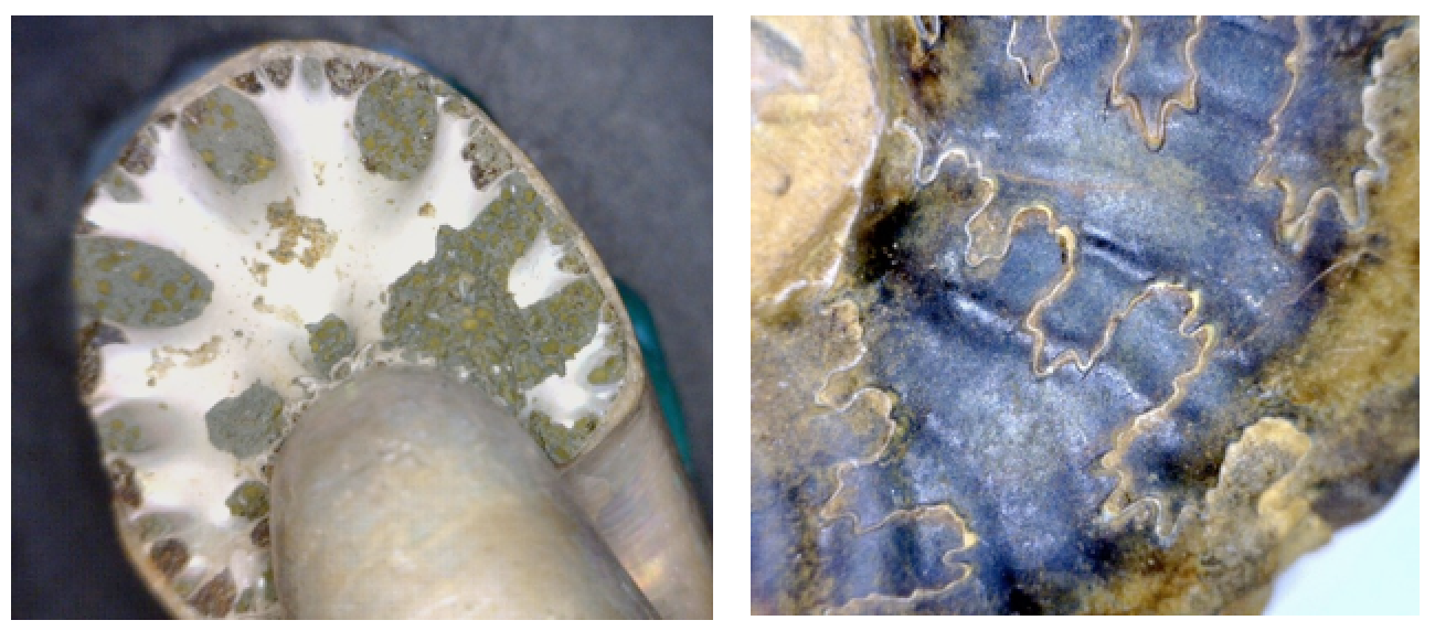 Figure 8.12 The septum of an ammonite (white part, left), and the suture lines where the septae meet the outer shell (right). [SE]