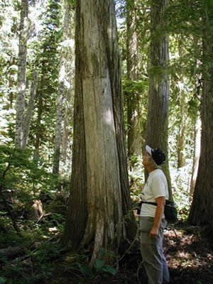 Culturally modified cedar tree in Washington state with man standing next to it