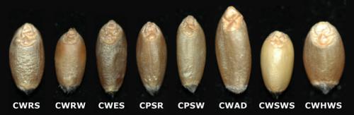 Classes of Wheat