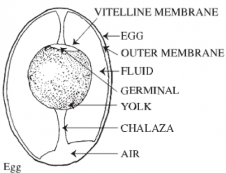 Composition of egg- outer shell is egg, followed by outer membrane, then fluid, vitelline membrane, germinal, yolk, chalaza, and air