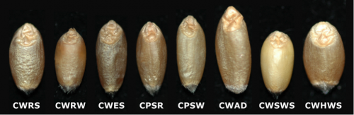 The appearance of the eight milling classes of western Canadian wheat