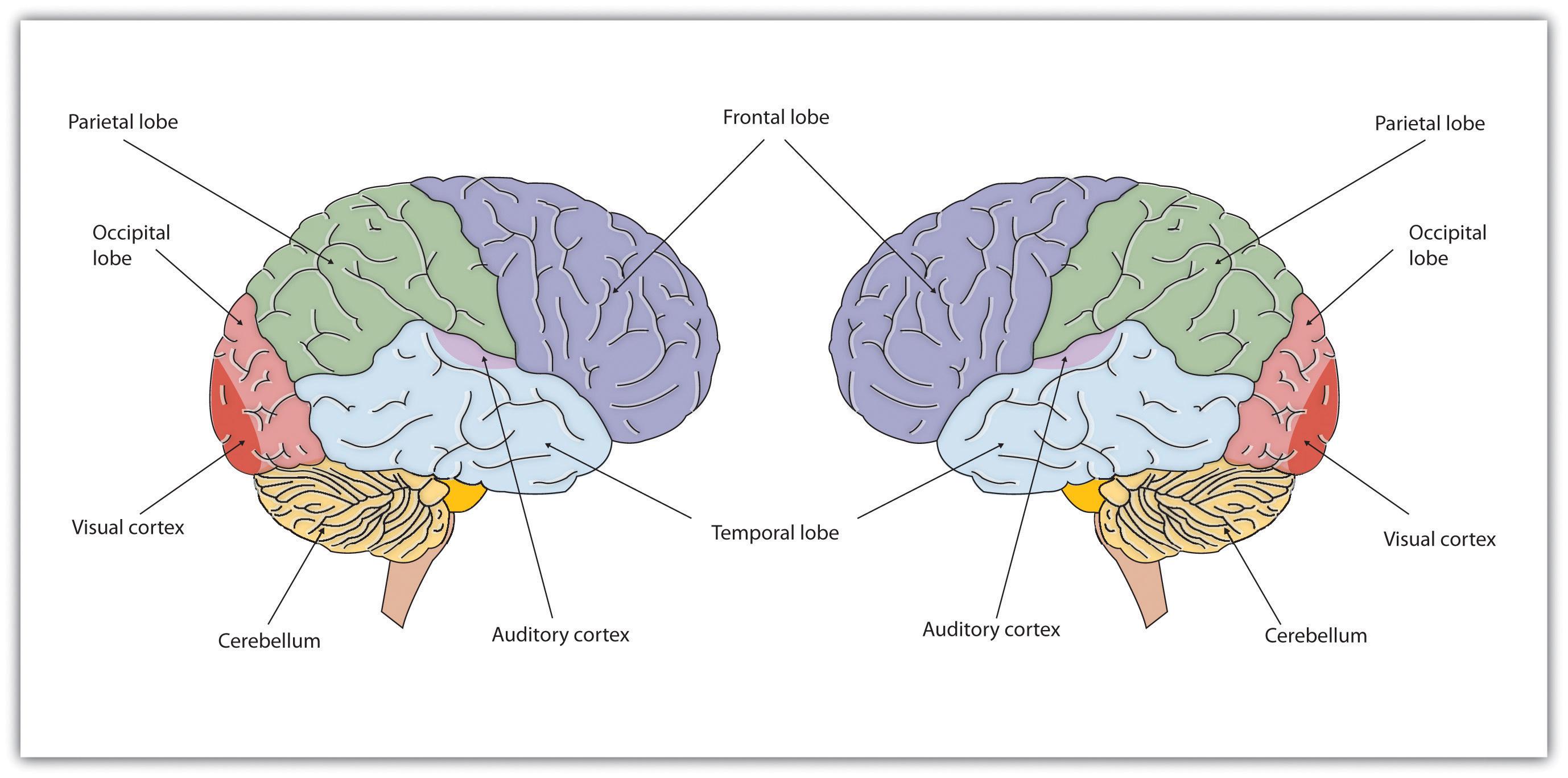 23 Best Histology  Cerebrum images  Cerebral cortex