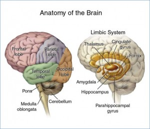 The many lobes and parts of the brain.