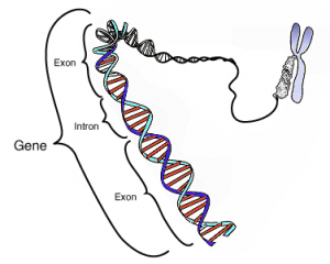 Introduction to sociology 2nd canadian edition coding region in a segment of eukaryotic dna image courtesy of national human genome research institutewikimedia commons fandeluxe Gallery