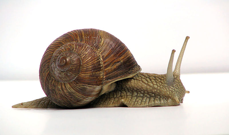 "A common garden snail moves at a rate of about 0.2 m/min, which is about 0.003 m/s, which is 3 mm/s! Source: ""Grapevine snail""by Jürgen Schoneris licensed under the Creative Commons Attribution-Share Alike 3.0 Unported license."