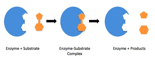 "Figure 17.7.5. ""Lock-and-Key"" model of enzymatic catalysis."