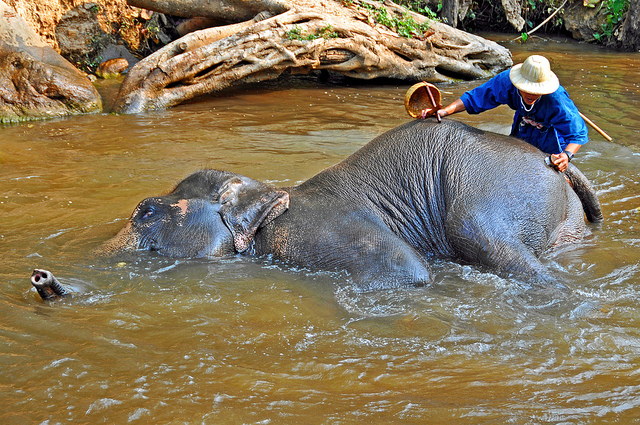 An elephant lies in a stream while a person washes his body with a brush.