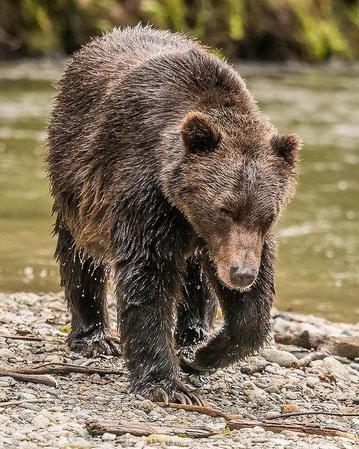A bear walking along the edge of a river.