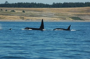 Killer whales coming up for air.