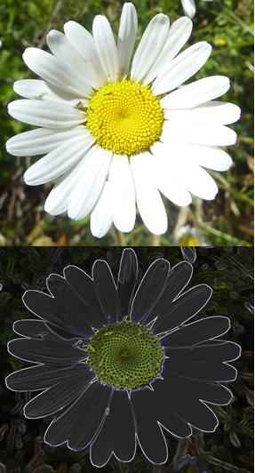 A white daisy and a black daisy