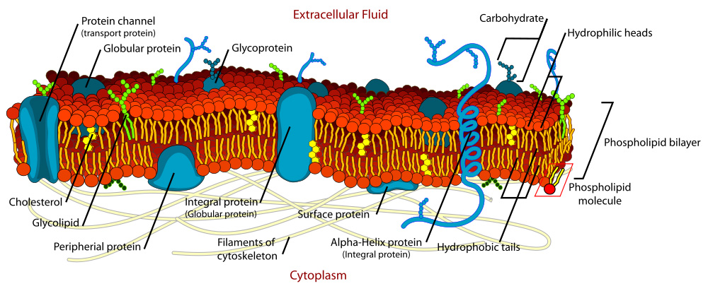 A detailed diagram of a cell membrane is shown with parts labeled as Protein channel, Globular protein, Glycoprotein, Carbohydrate, Hydrophilic heads, Phospholipid bilayer , Phospholipid molecule, Hydrophobic tails, Alpha-Helix protein, Surface protein, Filaments of cytoskeleton, Integral protein, Peripheral protein, Glycolipid, and Cholesterol.