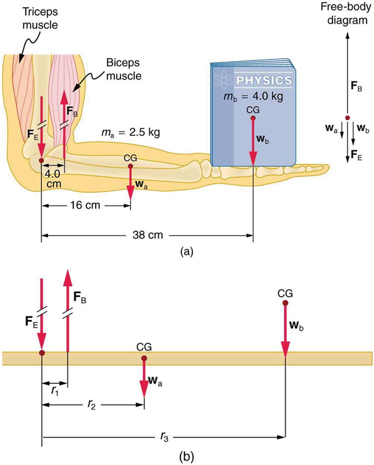 forces and torques in muscles and joints college physics