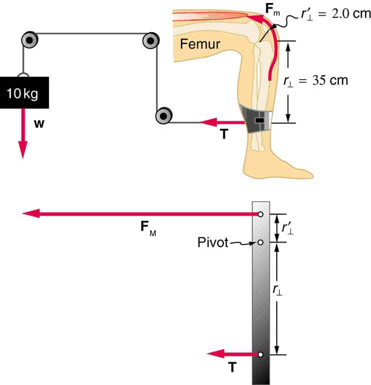 Forces and Torques in Muscles and Joints – College Physics