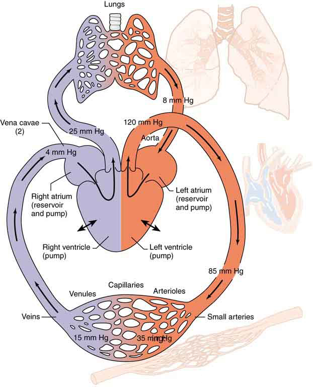 Force Flow Of Blood: Pressures In The Body