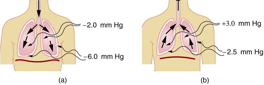 the figures represent the inhalation and expiration process in the human  body  it shows the