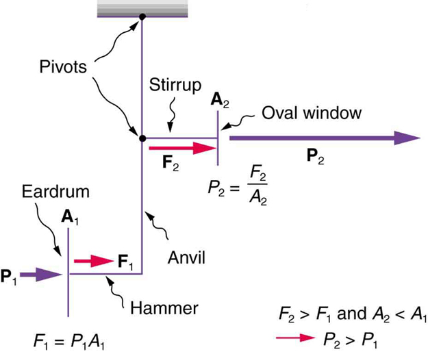 The schematic diagram of the middle ear's system for converting sound pressure is shown. There is a pressure P one applied on the ear drum shown as a vertical line. The pressure P one travels along a horizontal line marked hammer as force F one. Then up a vertical line marked anvil and reaches a point marked pivot. Then this travels as a force F two along a horizontal line marked stirrup and reaches the oval window shown by a vertical line then passes by it as pressure P two. The pivot point has another support held vertically.