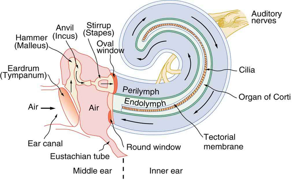 schematic diagram of the middle and inner ear with various parts labeled