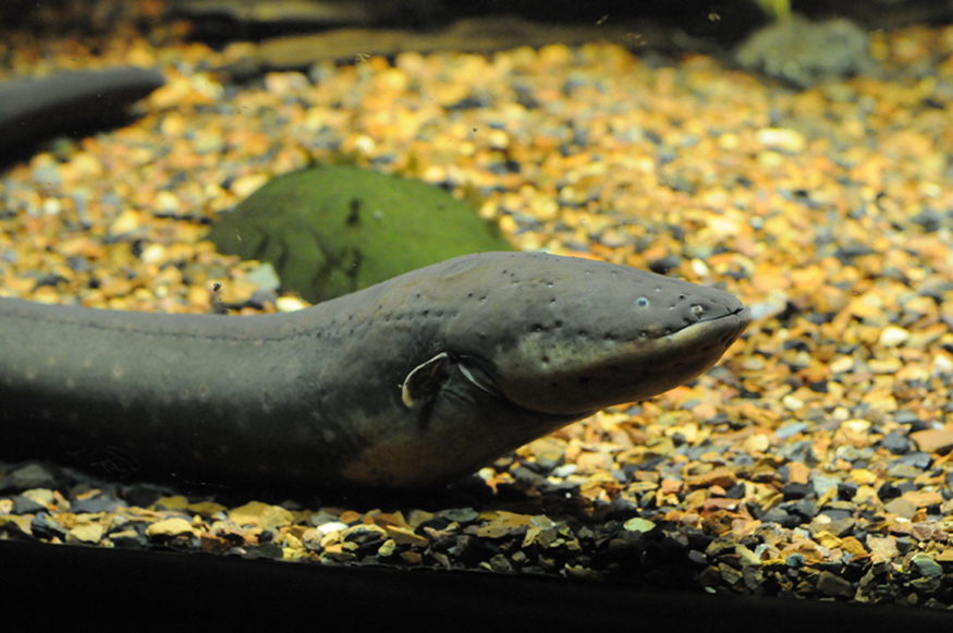 Photograph of an electric eel.