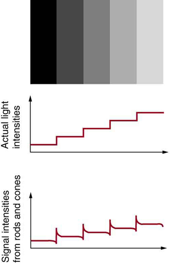 An image of black and gray gradient in stripes pattern is shown in first figure. A step graph in increasing order below the image shows actual light intensities of the above pattern. The graph appears uniform as the grey strips are also uniform, but they are not. Instead, they are perceived darker on the dark side and lighter on the light side of the edge as depicted in the graph below it, which shows a step graph with spikes at the beginning of the next step.