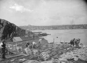 Preparing cod within sight of the St. John's skyline, ca. 1900.