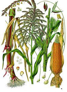 Corn and grain.