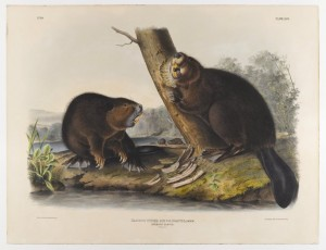 Two beavers with big yellow teeth gnaw at the base of a tree.