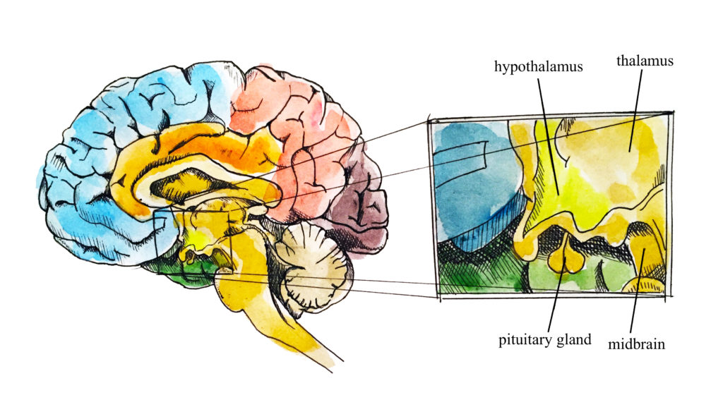 Position of the area of the hypothalamus in the brain in relation to the thalamus, mid-brain and pituitary gland