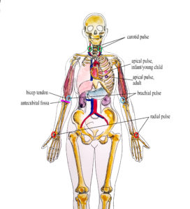 Landmarks for radial, brachial, carotid and apical pulse.