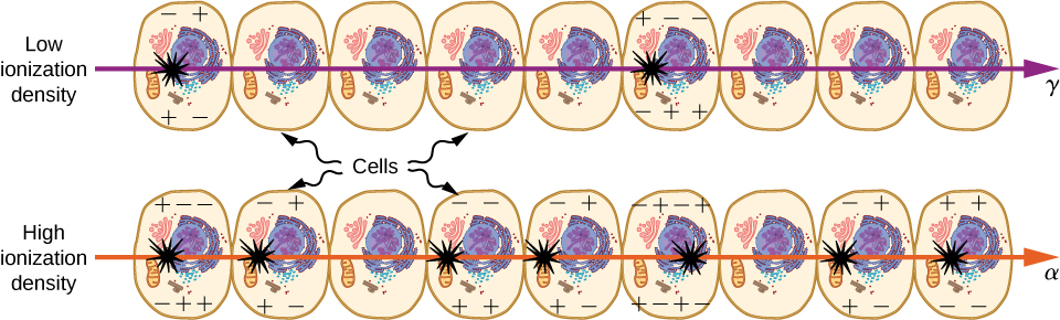 Two rows of nine cells each are shown. A gamma ray of low ionization density passes through the upper row. Two cells are damaged. An alpha ray of high ionization density passes through the lower row. Five cells are damaged.
